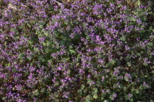 Henbit Is A Weed That Grows On The Roadside And Has Red-purple Flowers In Spring.