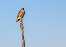 Red Shouldered Hawk Perched On Dried Tree.