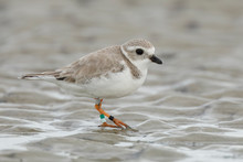 Piping Plover Foraging On A Beach In Winter