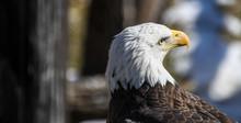 Close-up Of Bald Eagle Head