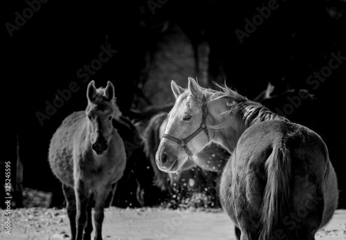 Fototapeta black and white image of a horse looking back at viewer  obraz