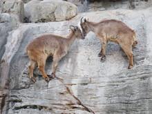 Mountain Goats Climbing A Dangerous Near Vertical Rock Cliff