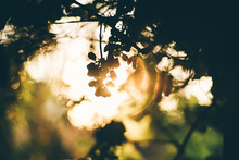 An Art Photo In A Sun Backlight With A Dark Silhouette Of A Bunch Of Grapes With Rays Of Lights Passing Through And A Chroma Hoop Around, Strong Bokeh, Shallow Depth Of Field, Sunny Evening