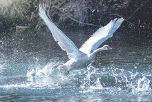 A Trumpeter Swan Is Flying Ove...
