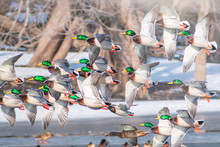 A Group Of Ducks Are Flying Ov...