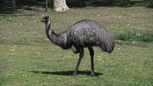 Australia Emu Eating Grass