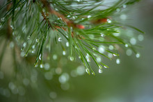 Pine Branch With Green Needles...