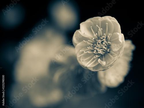 梅の花の写真 彩度低め