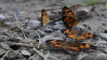 Silvery Checkerspot Butterflies In Drying Mud Puddle