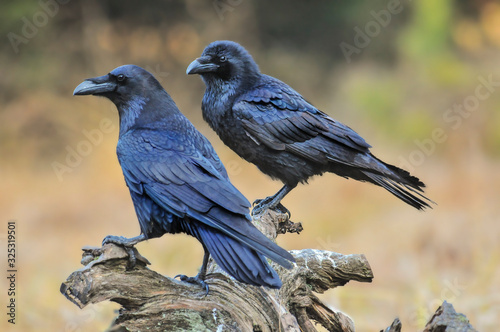 Photo Common raven on old stump.  Corvus corax