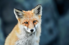 Red Fox Head Detail. Red Fox Close Up.  Fox Eyes