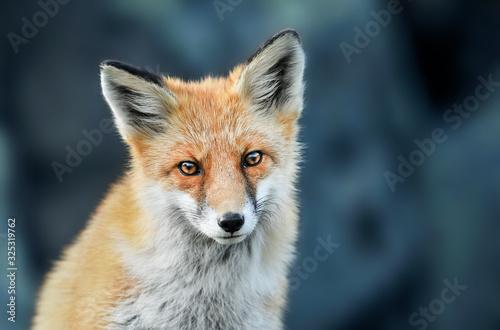 Photo Red fox head detail. Red fox close up.  Fox eyes