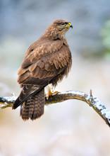 Common Buzzard In Winter. Common Buzzard On Brach. Buteo Buteo