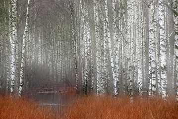 Panel Szklany Brzoza Birch trees in a row in front of red grass.