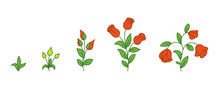 Red Rose Growth Stages. Flowers Plants Development. Rose Animation Progression Period. Flower Shop. Vector Infographic.