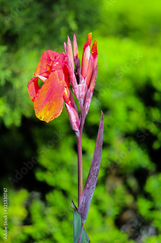 Canna indica, commonly known as Indian shot, African arrowroot, edible canna, purple arrowroot, Sierra Leone arrowroot, is a plant species in the family Cannaceae Wallpaper Mural
