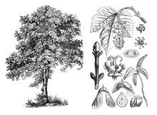 Acer Pseudoplantanus (Sycamore Maple) Engraved Antique Illustration From Brockhaus Konversations-Lexikon 1908