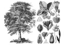 Common Beeach (Fagus Sylvatica) Engraved Antique Illustration From Brockhaus Konversations-Lexikon 1908
