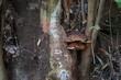 Große Pilze an einem Baum im Lorbeerwald von Madeira
