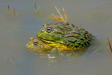 A Pair Of Mating African Giant Bullfrogs (Pyxicephalus Adspersus) In Shallow Water, South Africa.