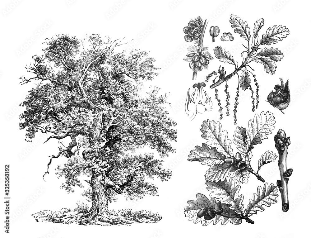 Fototapeta Sessile oak (Quercus petraea) Engraved antique illustration from Brockhaus Konversations-Lexikon 1908