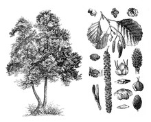 Common Alder (Alnus Glutinosa) Engraved Antique Illustration From Brockhaus Konversations-Lexikon 1908