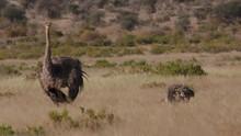 Somali Ostriches Feeding Grasslands E Africa