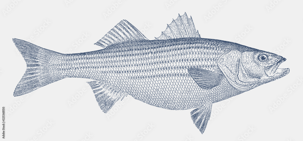 Fototapeta Striped bass, morone saxatilis, a fish from the Atlantic coast of North America in side view