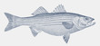Striped bass, morone saxatilis, a fish from the Atlantic coast of North America in side view