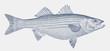 Striped bass morone saxatilis, a fish from the Atlantic coast of North America