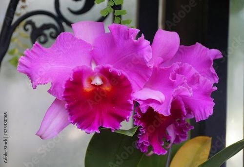 Fototapety, obrazy: Beautiful light and dark purple cattleya orchid flowers