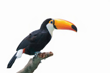Beautiful Toucan Isolated On A White Background.