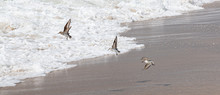 Three Piping Plovers Flying Over The Waters Edge On Fire Island New York