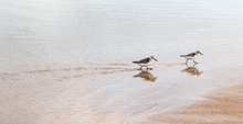 Two Piping Plovers Walking In The Ocean At The Edge Of The Beach