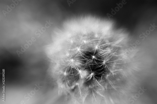 Fotografia Ball of dandelion seeds on a stalk just before they blow away