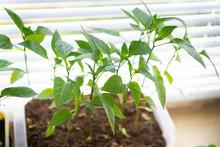 Close Up Of Fresh Green Pepper...