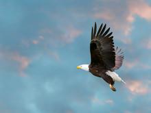 Large Bald Eagle In Flight Aga...