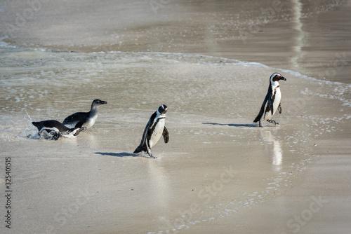 Fotografie, Obraz Penguins on the Beach