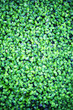 Background from plant clover four leaf. Irish traditional symbol. St.Patrick 's Day.
