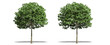 Beautiful Sorbus tree isolated and cutting on a white background with clipping path.