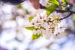 Blooming apple tree in spring time. Flower.