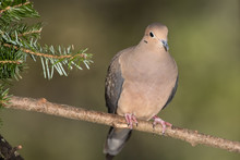 Mourning Dove Resting In An Ev...