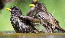 Common Starlings (Sturnus Vulgaris) At A Small Pond