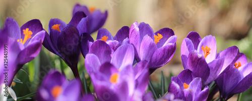 Lila Krokus im Frühling