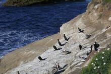Brandt's Cormorants Roosting On Cliff