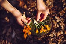 Hands Arrange Yellow Crocuses