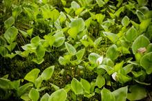 Leaves Of Calla ,bog Arum, Marsh Calla. Beautiful Group Of Marsh Calla Growing In Swamp. Light Shining Through The Leaves.Calla Palustris In Natural Habitat.