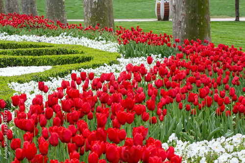 Fotografie, Obraz Beds of red and white tulips flower in Istanbul, Turkey, in the spring tulip fes