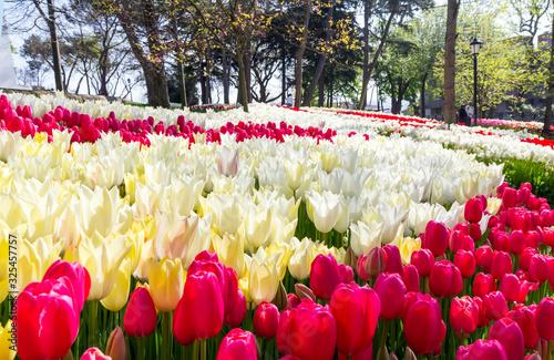 Obraz na plátně Tulip flower beds close up in Emirgan Park, Istanbul, Turkey, in the spring tuli