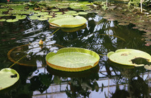 Tropical Plants Growing In Pond